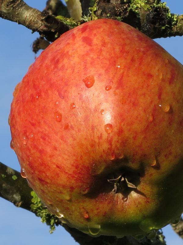 Howgate Wonder apple grown in Logie House Garden
