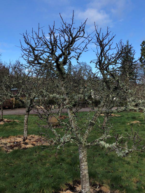 unpruned tree in Logie House Garden