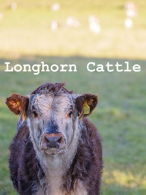 Longhorn Cattle at Logie