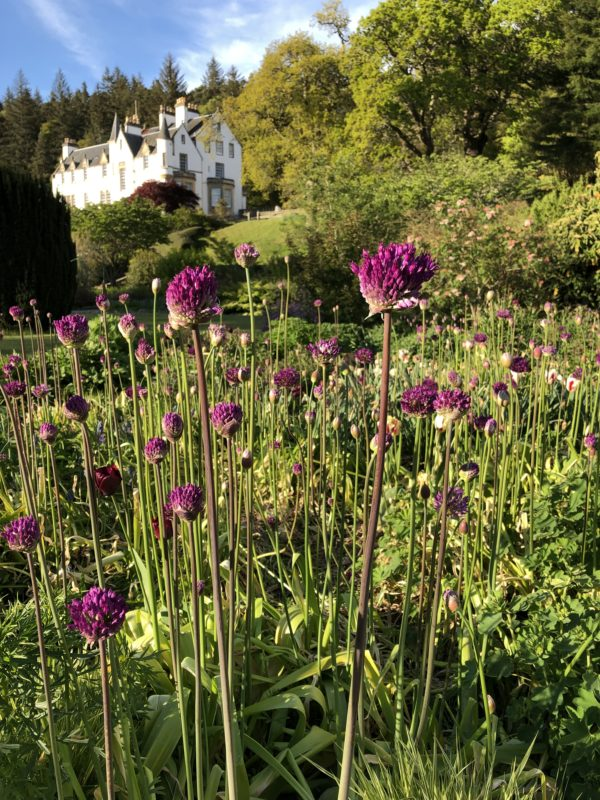 alliums and house in Logie House Garden