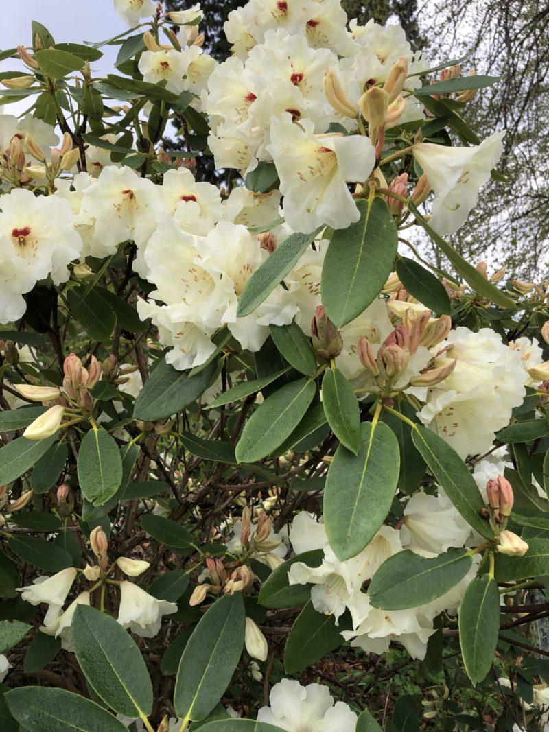 Rhododendron in Logie House Garden