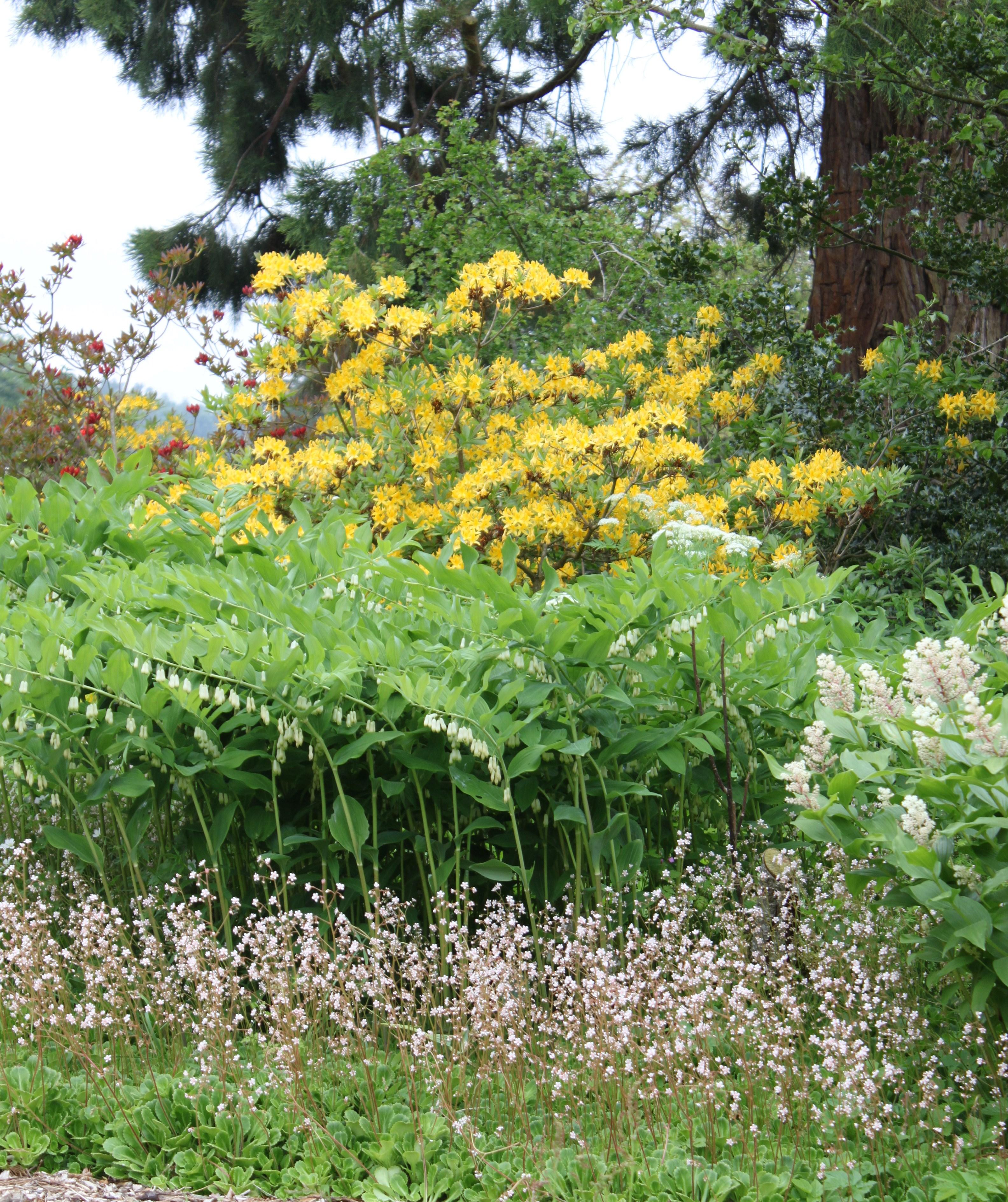 azalea, solomons seal in Logie House Garden for Storytelling Week