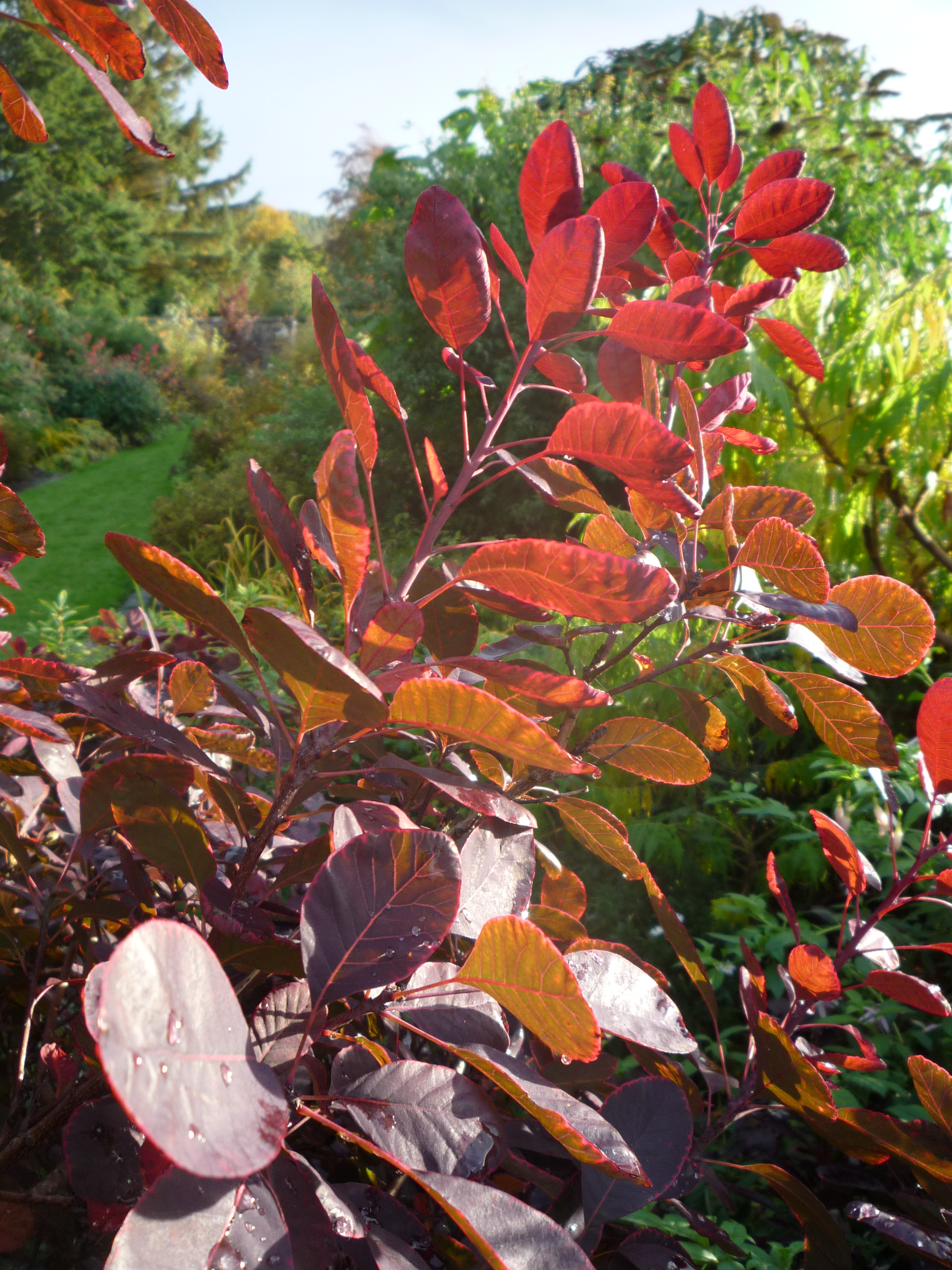 cotinus in Logie House Garden for Storytelling Week