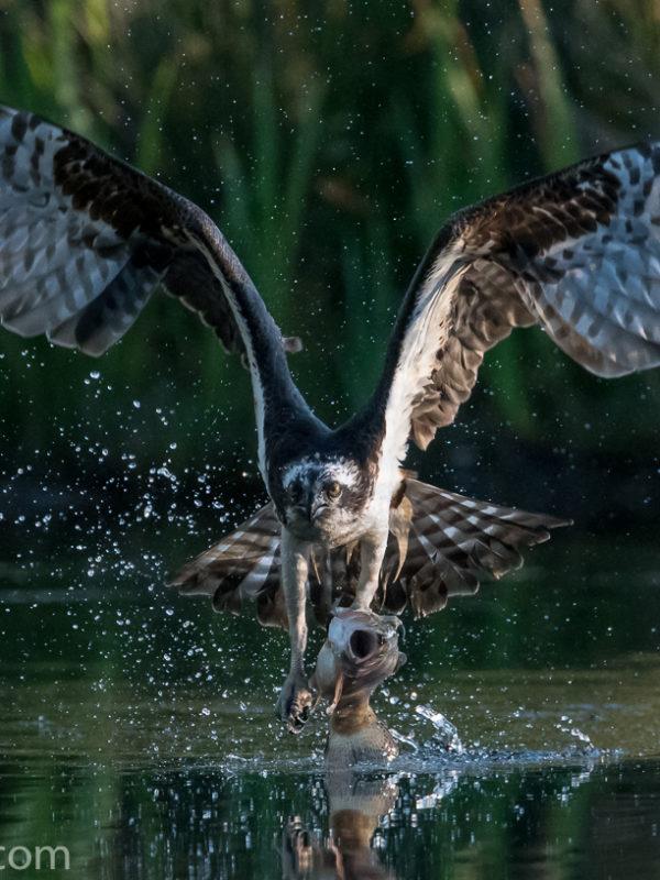 Osprey cc Mike Crutch