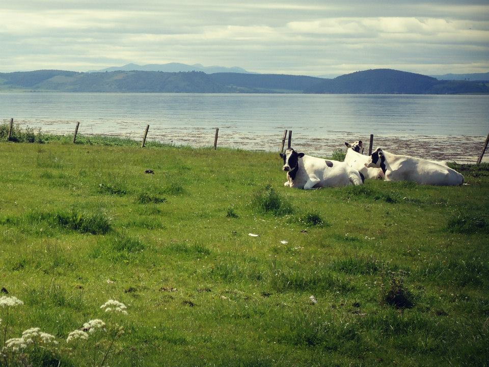connage cows with sea