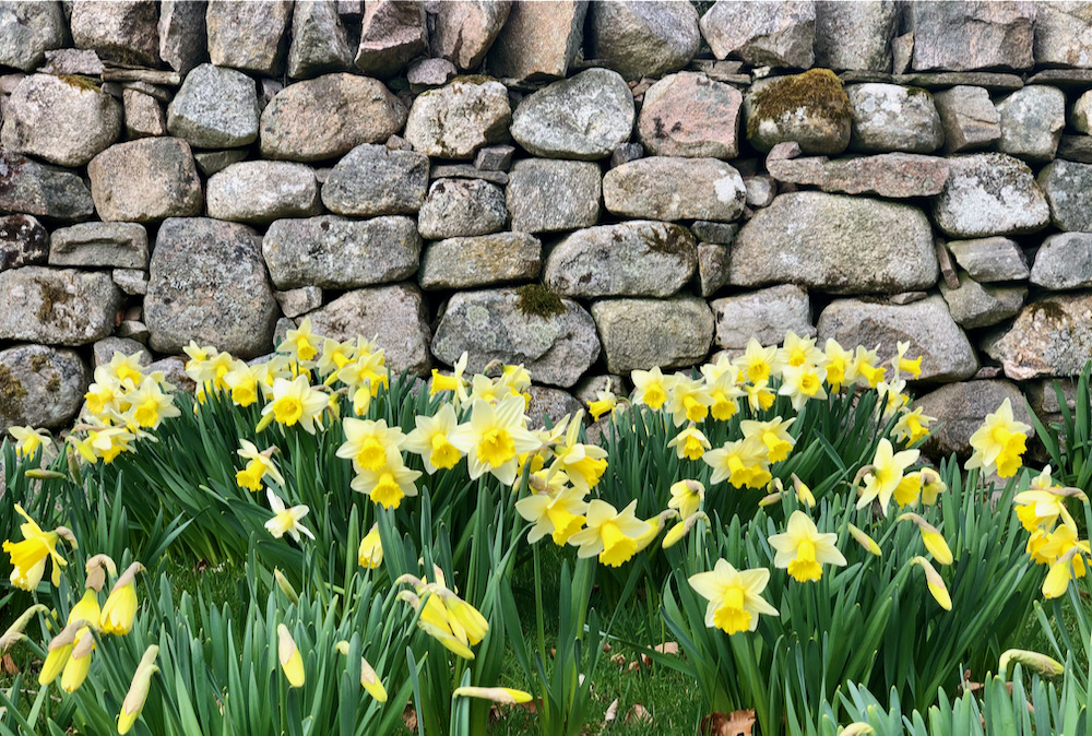 spring daffodils at Logie