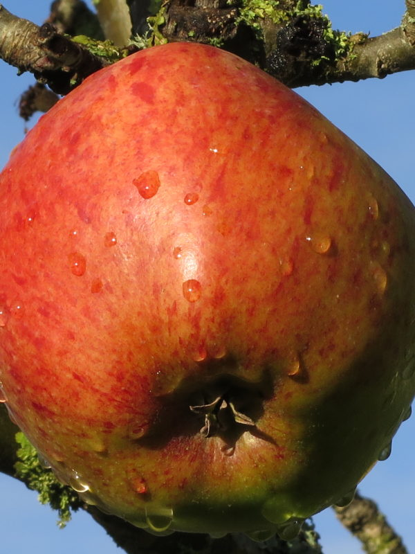 Howgate Wonder apple grown in Logie House Garden