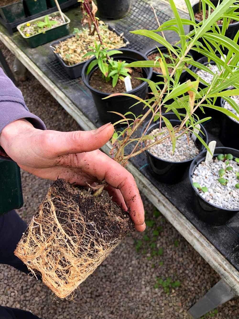 potted plant root system ready to be trimmed in Logie plant nursery