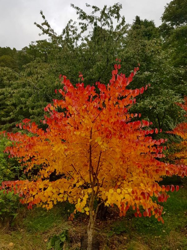 flaming Cercidiphyllum at Logie steading