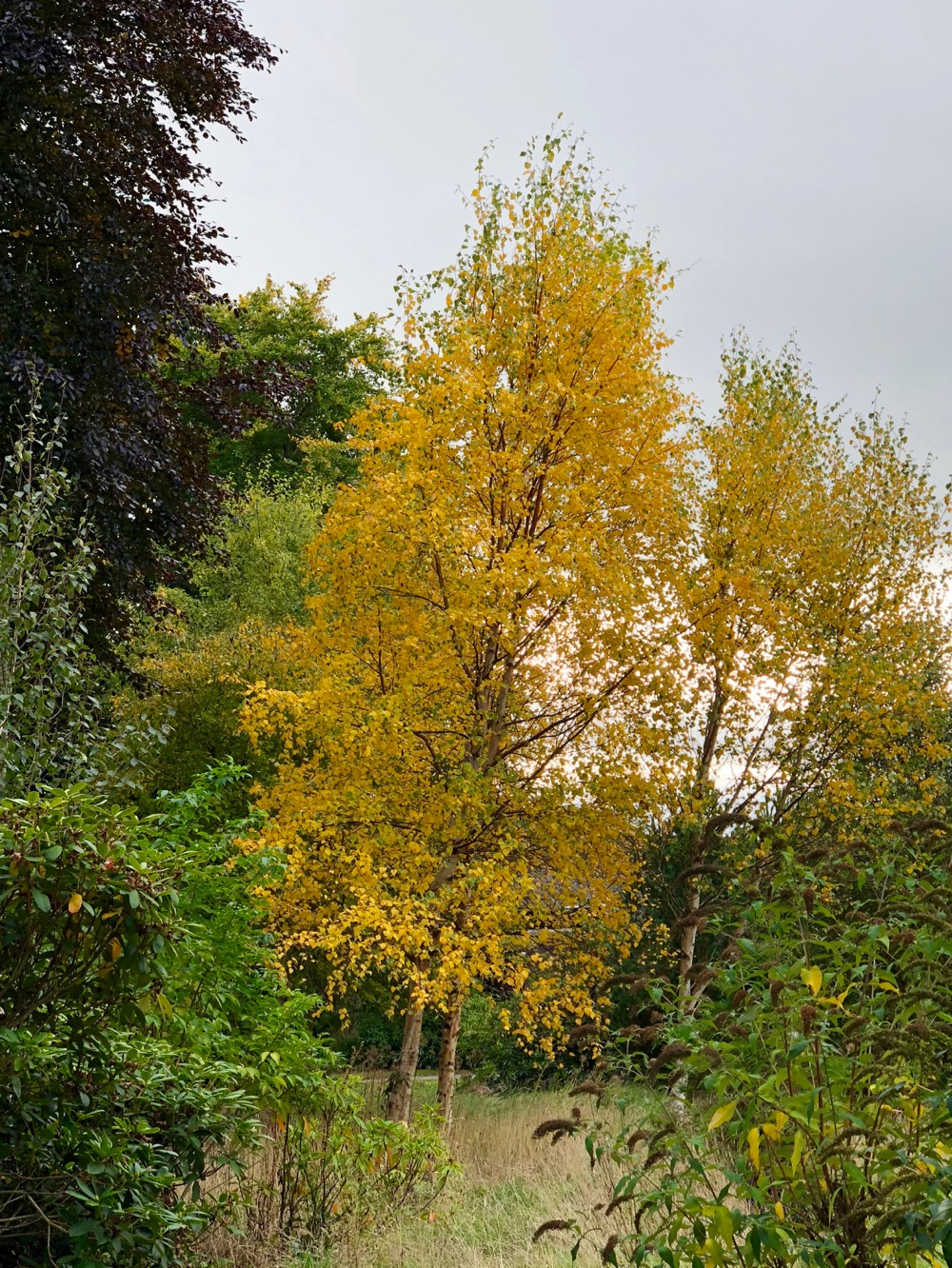 Yellow Birch at Logie Steading
