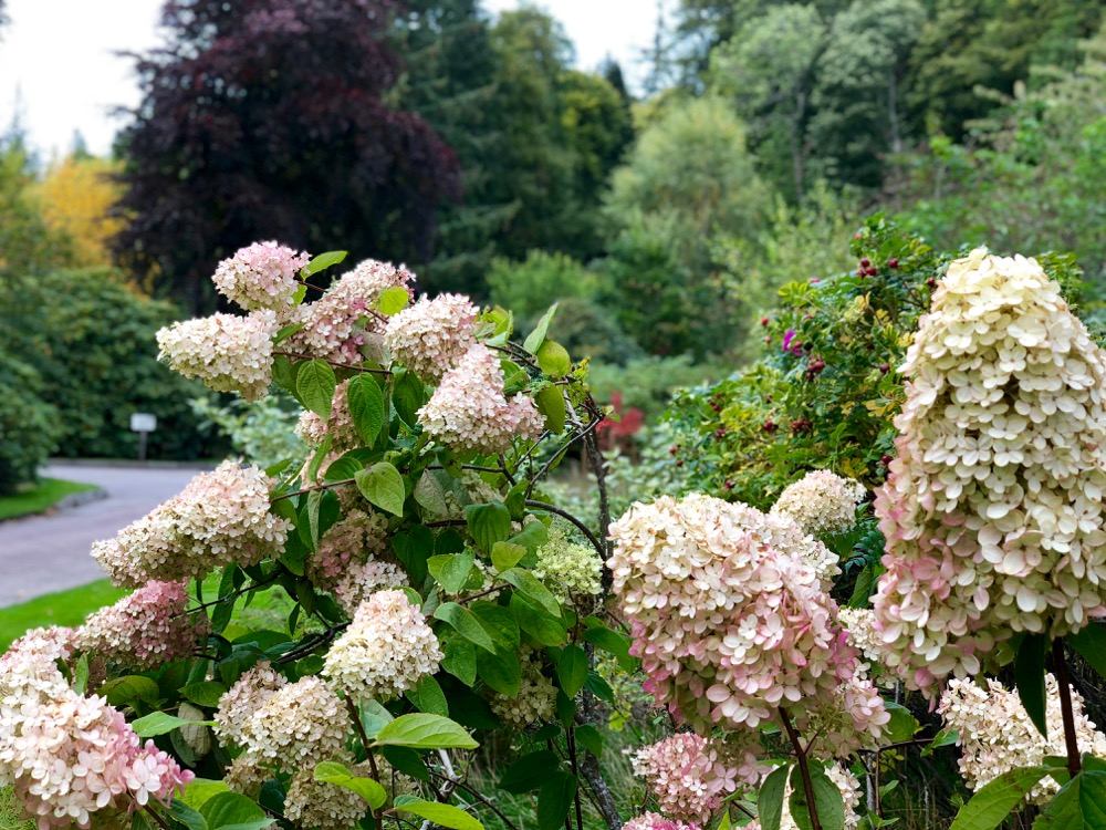 Autumn Hydrangea at Logie Steading