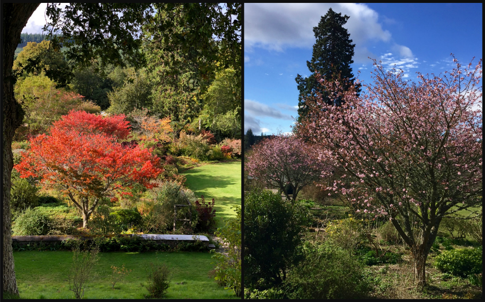 Ornamental Cherry Tree in Logie House Garden in Autumn and Spring