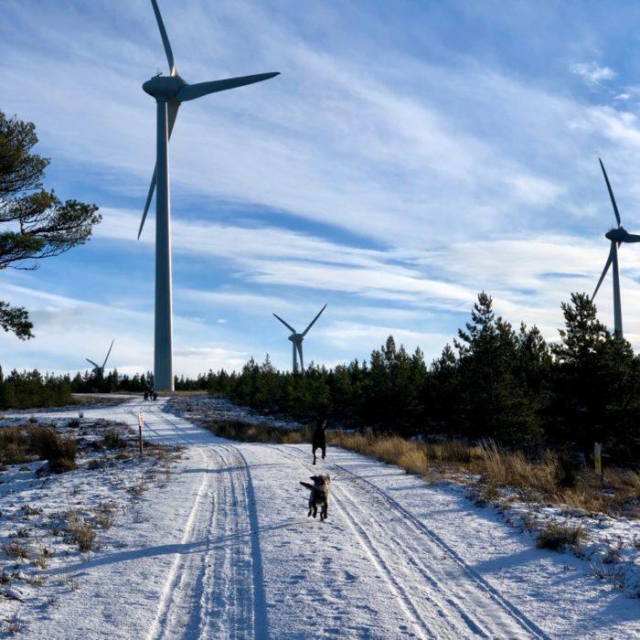 dog-walk-at-Logie-Windfarm