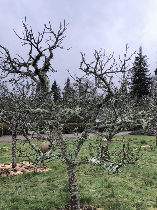 pruned tree in Logie House Garden