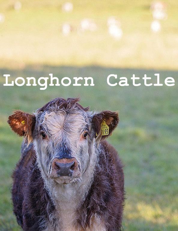 Longhorn Cattle raised at Logie Steading