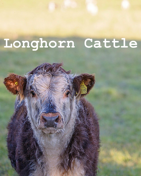 Longhorn Cattle raised at Logie Steading