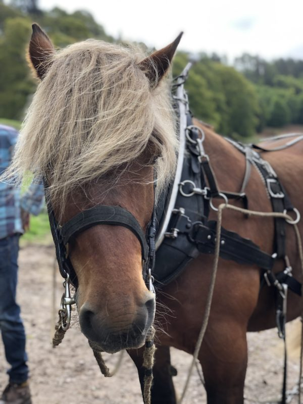 Tarzan the wonder horse horse logger at Logie Timber Festival