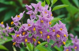 solanum flower